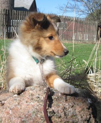 Sheltie Puppies Available In Wisconsin Shakerag Shelties